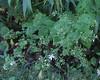 Heart-leaved Aster (Symphyotrichum cordifolium aka Aster cordifolius)
