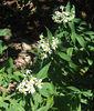 Flat-topped Aster or Parasol Whitetop (Doellingeria umbellata aka Aster umbellatus)