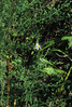Heath Aster (Symphyotrichum pillosum ask Aster pilosum)