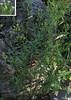 Horseweed (Conyza canadensis aka<br />   Erigeron canadensis)