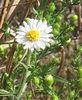Heath or  Hairy White Oldfield Aster (Symphyotrichum pilosum)
