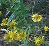 Yellow Sneezeweed (Helenium autumnale)