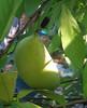 Pawpaw (Asimina triloba) fruit