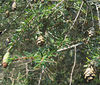 Eastern Hemlock (Tsuga canadensis)