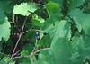 Mapleleaf Viburnum (Viburnum acerifolium) fruit
