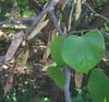 Eastern Redbud (Cercis canadensis) pods
