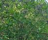 Fringe Tree (Chionanthus virginicus) in fruit