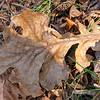 Bur Oak leaf
