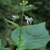 Enchanter's Nightshada (Circaea lutetiana)