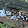 Chocolate Slime Mold (Tubifera ferruginosa)
