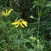 Green-headed Coneflower (Rudbeckia laciniata)
