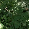 Pointed-leaf Tick-trefoil (Hylodesmum glutinosum)