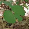 Bloodroot leaf (Sanguinaria canadensis)