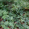 Virginia Knotweed (Persicaria virginiana)
