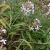 Soapwort aka Bouncing Bet (Saponaria officinalis)