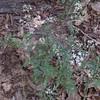 Hairy-fruit Chervil  (Chaerophyllum tainturieri)