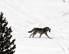 Wolf with wild animal leg in mouth, Elf Refuge at Jackson Hole Wyoming