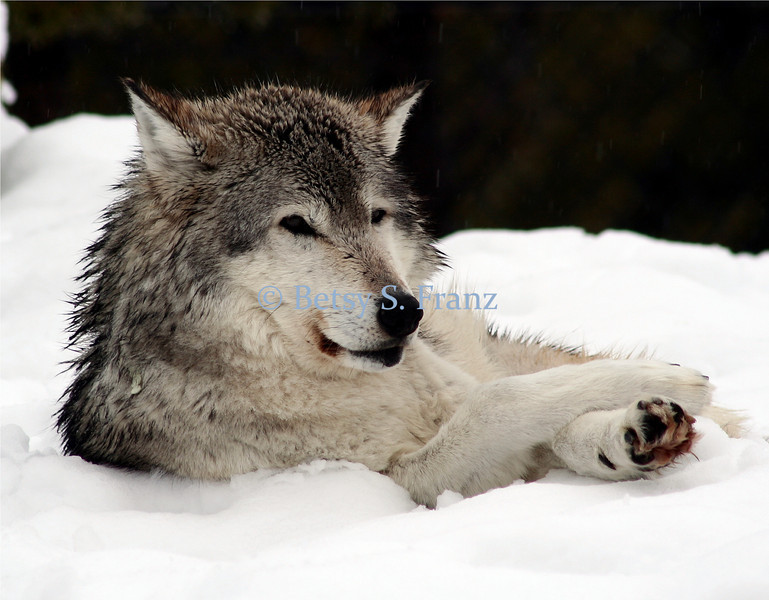 bigskywolf