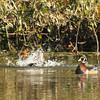 Wood Ducks frolicking, VCP