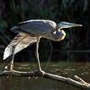 Great Blue Heron, VCP 8-27-10