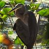 Great Blur Heron, VCP