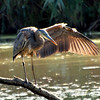 Great Blue Heron, VCP