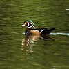 Wood Duck, VCP