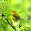 Yellow Warbler, VCP, May 2010