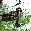 Wood Ducks, VCP May 2010