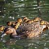 Mallard and Chicks