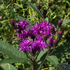 Ironweed, Van Cortlandt {Park