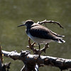 Solitary Sandpiper, Van Cortlandt Park