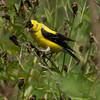 Goldfinch, Van Cortlandt Park