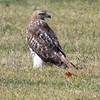 Red-tailed Hawk on Parade Ground, Van Cortlandt Park