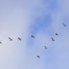 Svanar, flyttfåglar