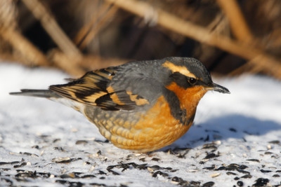 Varied Thrush male Trempealeau County January 9, 2015 He's a long way from home!