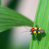 Colorful bug (probably a Large Milkweed) in Costa Rica, Feb 2009