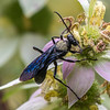 Great Black Wasp - Greenbrook NJ, Aug 2017