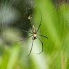 Golden silk orb-weaver, Khao Sok