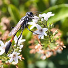 Common Thread-waisted Wasp - Interstate Lookout, Aug 2019
