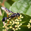 Brown-legged Grass-Carrying Wasp - Interstate Lookout, Aug 2019