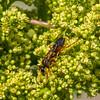 Great Golden Digger Wasp - July 2016, New Paltz, NY