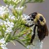 Brown-belted Bumble Bee - DeKorte, NJ - July 2015