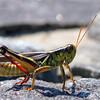 Two-striped Grasshopper - Aug 2009, Bear Mountain, NY