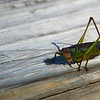 "As a general rule ""crickets have very long antennae whilst grasshoppers do not""<br /> <br /> So this must be a cricket"