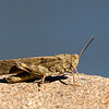 Carolina Grasshopper - Sept 2008 - Alpine, NJ