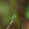 Katydid nymph in the genus Scudderia