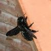 Carpenter Bee - Capri, Italy, May 2014