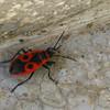 Fire Bug (Pyrrhocoris apterus) - Bucharest, Romania - Oct 2008