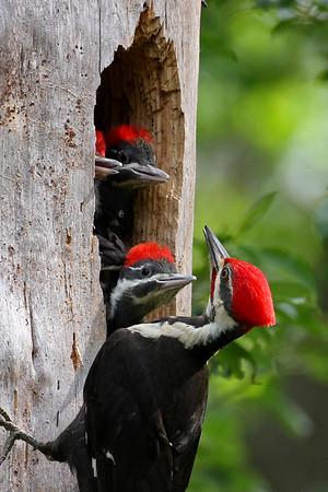 Pileated woodpeckers at Hoffler Creek Wildlife Preserve, Portsmouth, VA